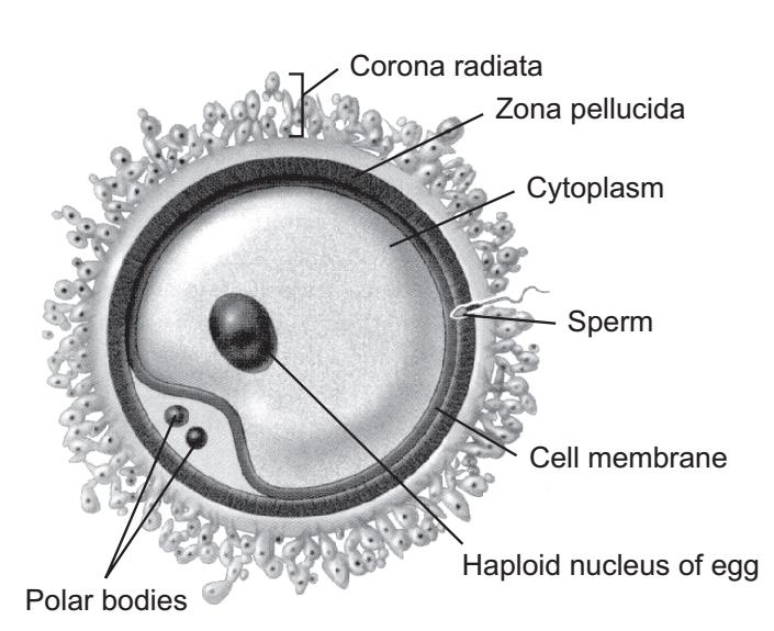 Ovum - DRGP Biology