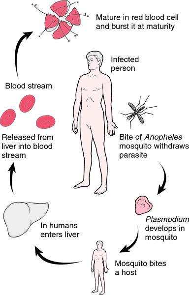 Malignant malaria | definition of malignant malaria by Medical dictionary