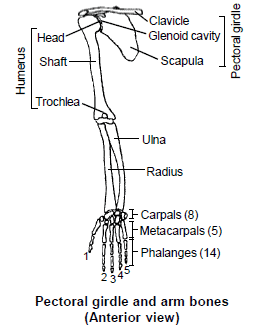 Chapter Notes - Skeletal System Class 11 Notes | EduRev