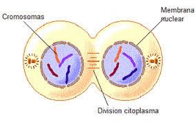 Mitosis: Stages NEET Notes | EduRev