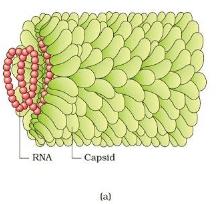 Viruses, Viroids and Lichens NEET Notes   EduRev