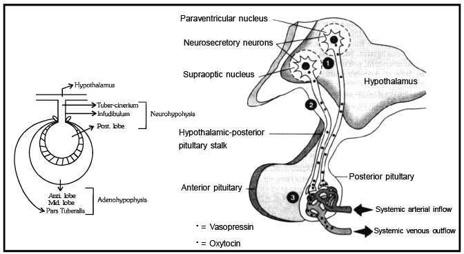 Pituitary Gland NEET Notes | EduRev