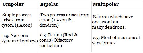 Types of Neurons NEET Notes   EduRev