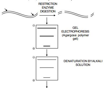 DNA Finger Printing, DNA Test and Cloning NEET Notes | EduRev
