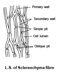 Doc: Permanent Tissues - Types Parenchyma NEET Notes | EduRev