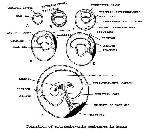 Embryology(Part - 7) - Notes, Zoology, Class 12 Class 12 Notes   EduRev