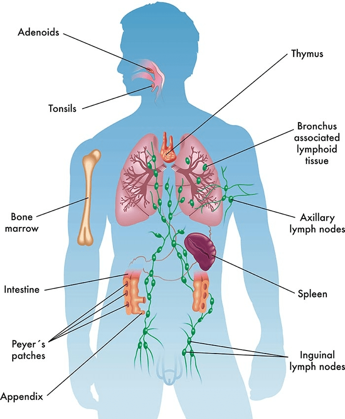 Immune System and Immunity NEET Notes   EduRev