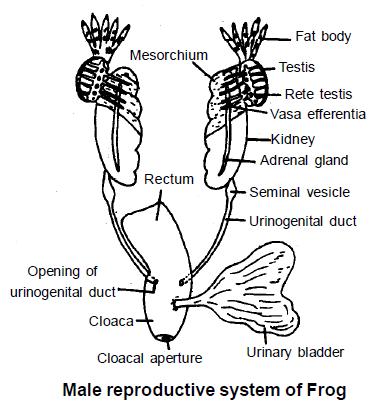 Doc: Frog- Reproductive System NEET Notes   EduRev
