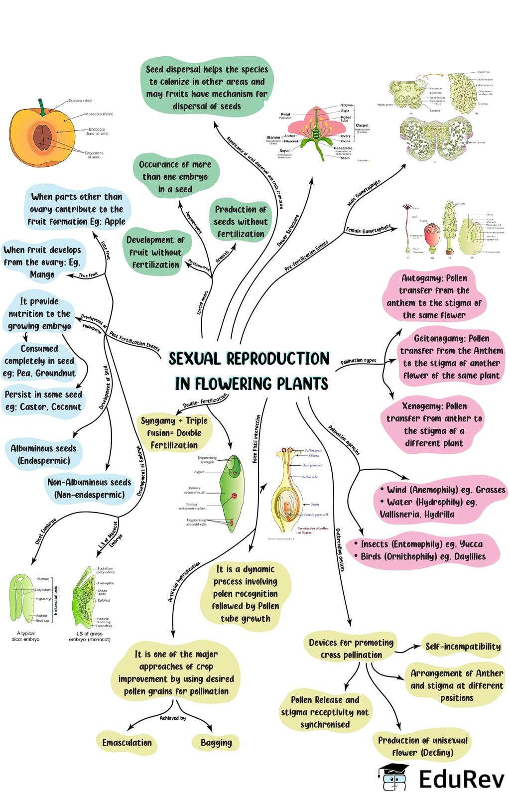 Mindmap: Sexual Reproduction in Flowering Plants NEET Notes | EduRev