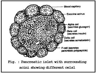 Pineal Body and Pancreas NEET Notes | EduRev