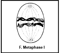 Meiosis Stages NEET Notes | EduRev