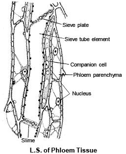 PLANT ANATOMY,Botany,Class 11