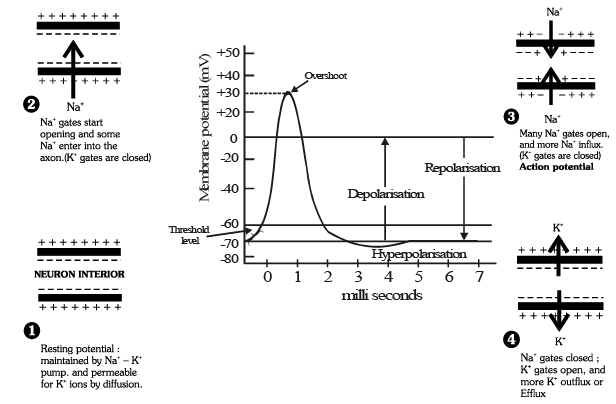 Synapse and Synaptic Transmission NEET Notes | EduRev
