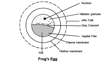 Embryology(Part-2) - Notes, Zoology, Class 12 Class 12 Notes   EduRev