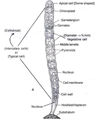 Doc: Ulothrix (Pond wool) NEET Notes | EduRev