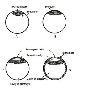 Embryology (Part-6) - Notes, Zoology, Class 12 Class 12 Notes   EduRev
