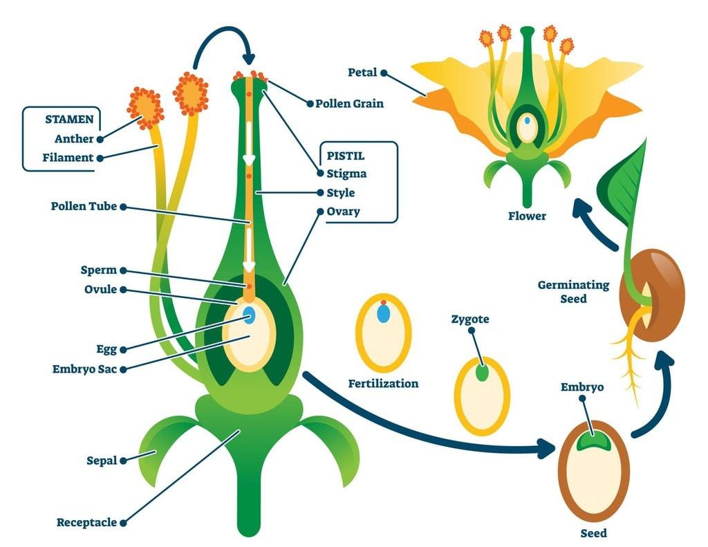 Sexual Reproduction in Flowering Plants [NEET] Notes | EduRev