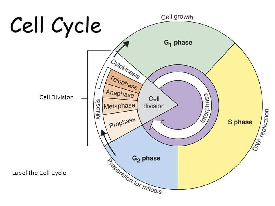 NCERT Solutions - Cell Cycle and Cell Division NEET Notes | EduRev
