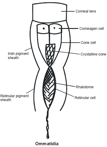 Cockroach: Digestive and Excretory System NEET Notes | EduRev