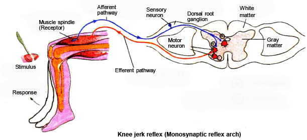 NERVOUS-SYSTEM(Part-5) - Notes, Zoology, Class 11 Class 11