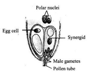 NCERT Exemplar - Sexual Reproduction in Flowering Plants (Part - 2) Notes | EduRev