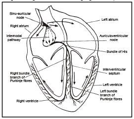 Human Heart Neet Notes Edurev