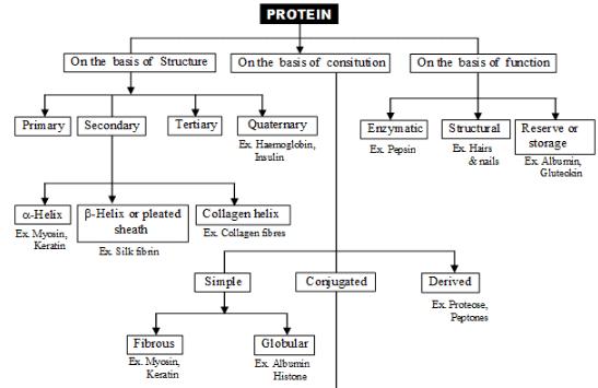 Protein NEET Notes | EduRev