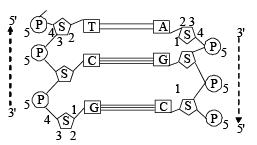 Doc: Nucleic Acids- Chemical Composition, Structure Class 12 Notes   EduRev