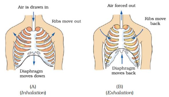 NCERT Exemplar Solutions: Respiration in Organisms Notes   EduRev