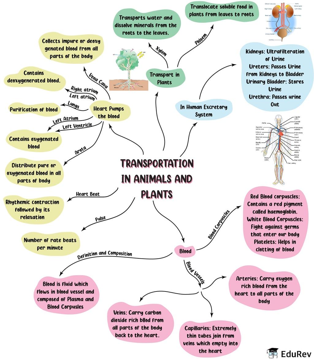 Mindmap: Transportation in Animals and Plants Notes   EduRev