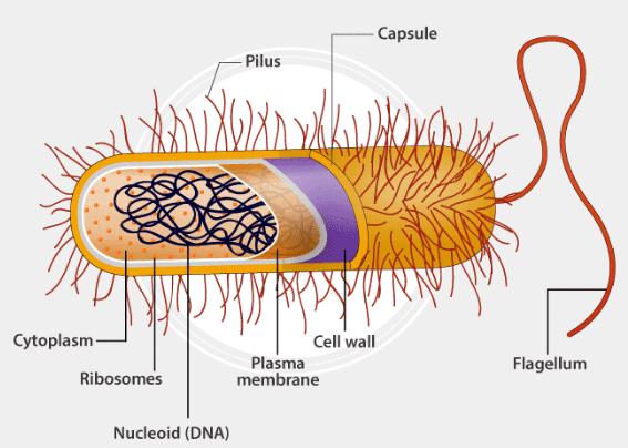 बैक्टीरिया, वायरस, शैवाल, कवक और लाइकेन UPSC Notes   EduRev