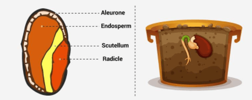 गाइनोकेमियम के भाग, बीज, कारण के शयनागार, फल, वाष्पोत्सर्जन, विल्टिंग UPSC Notes | EduRev