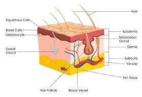 पशु ऊतक, कंकाल प्रणाली UPSC Notes | EduRev
