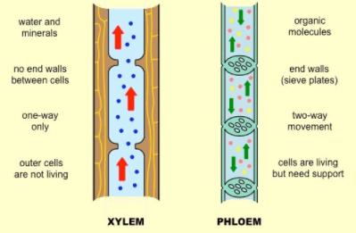 पौधों, पत्ती, गाइनोकेम के फूल भागों में ऊतक प्रणाली UPSC Notes   EduRev