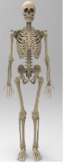 Animal Tissue, Skeletal System UPSC Notes | EduRev