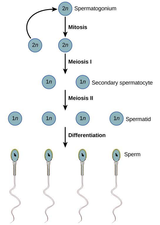Gametogenesis | Biology I