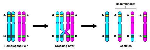 10.2 Dihybrid Crosses and Gene Linkage | BioNinja