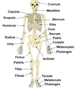 Detailed Notes: Human Body and Nutrition(Part - 3) Class 5 Notes | EduRev