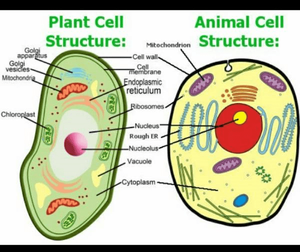 Here it is the labeled diagram of plant and animal cell ...