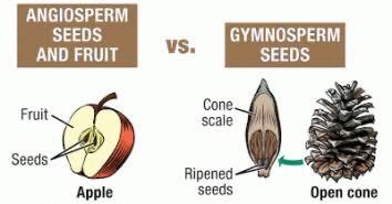 What are the reasons that Gymnosperms produce neither flower nor fruit? -  Quora