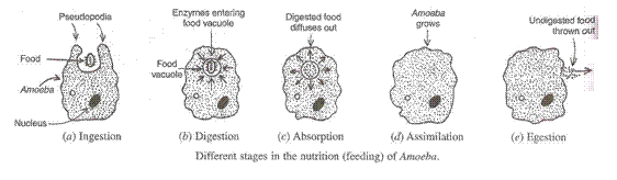Solution of Life Processes (Page No - 25)- Biology by Lakhmir Singh, Class 10 Class 10 Notes | EduRev