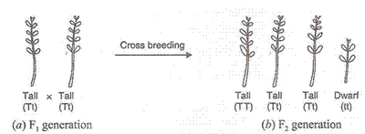 Solution of Heredity and Evolution (Page No - 193 - Biology by Lakhmir Singh, Class 10 Class 10 Notes | EduRev