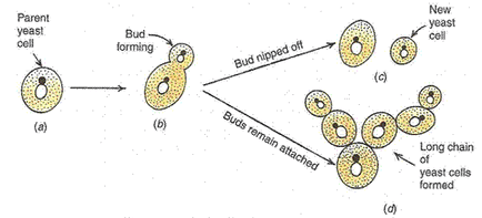 Solution of How do organisms Reproduce (Page No - 143 - Biology by Lakhmir Singh, Class 10 Class 10 Notes | EduRev