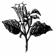 I need help with Which is the particular type of drug that is obtained from  the plant whose one flowering branch is shown below?