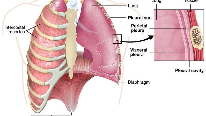 The Pleura: Anatomy, Function, and Treatment