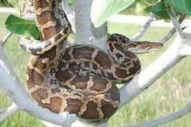 Python molurus - Wikipedia