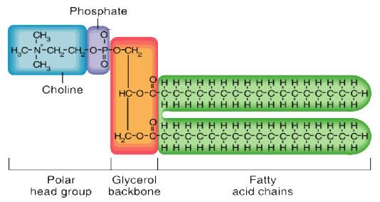 Phospholipids are formed by the esterification of.