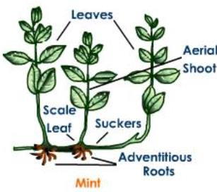 Vegetative propagation in Mint occurs by