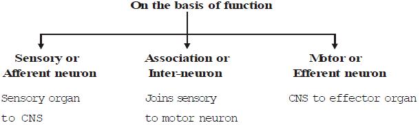 Nervous Coordination In Animals Class 10 Notes | EduRev