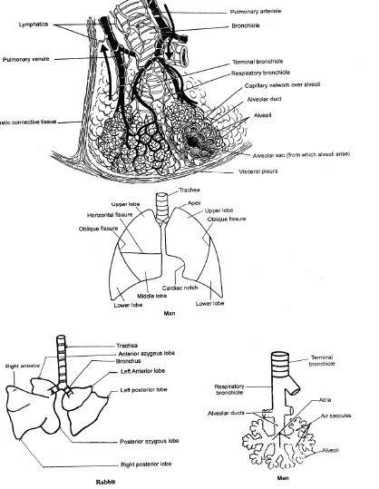 Respiratory System, Chapter Notes, Class 11, Biology Class 11 Notes